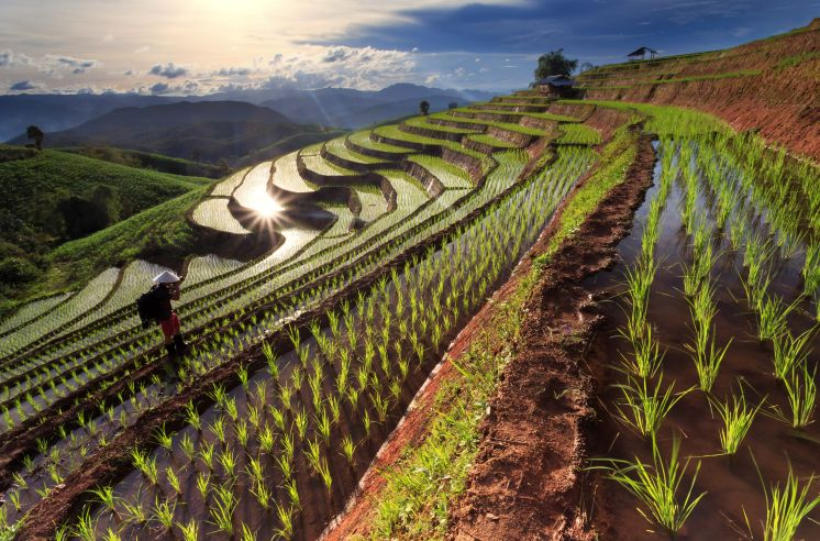 Dollar-thai-padi-fields